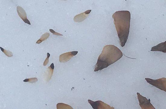 Kiefern Samen